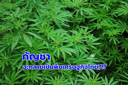 รูปข่าว 'กัญชา' จะกลายเป็นพืชเศรษฐกิจไทยได้หรือไม่?