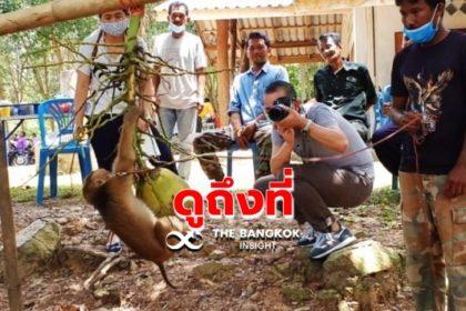 รูปข่าว สื่อต่างชาติบุกดูการเลี้ยง 'ลิงกังเก็บมะพร้าว' ถึงชุมพร พิสูจน์ไม่ได้ทรมานลิง