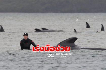 รูปข่าว ออสเตรเลียเร่งช่วยวาฬ 270 ตัว 'เกยตื้น' ตายแล้ว 90 ตัว!