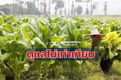 รูปข่าว ชาวไร่ยาสูบ น้อยใจ รัฐช่วยล่าช้า สรรพสามิตแจงเหตุ ติดโควิด เร่งสรุปพืชทดแทน