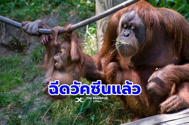 ฉีดวัคซีนโควิด ลิง