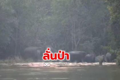 รูปข่าว กรมอุทยานฯ เปิดคลิป 'ฝูงช้าง' ส่งเสียงร้องดังลั่นป่าภูเขียว